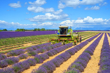 FRA11314AW Lavender fields in Provence in height of bloom in early July as workers begin harvesting first rows of Lavender, Plateau de Valensole, Provence-Alpes-Côte d'Azur, France
