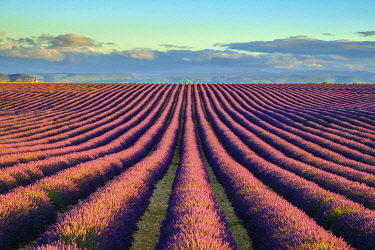 FRA11316AW Rows of purple lavender in height of bloom in early July in a field on the Plateau de Valensole at sunrise, Provence-Alpes-Côte d'Azur, France