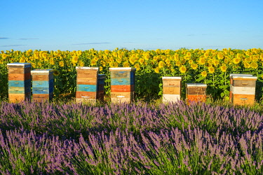 FRA11317AW Beehives between lavender and sunflower fields on the Plateau de Valensole, Alpes-de-Haute-Provence, Provence-Alpes-Côte-d'Azur, France