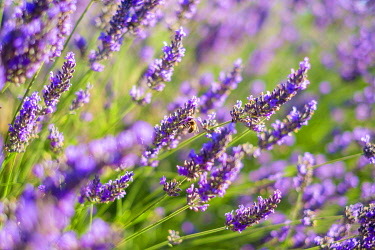 FRA11319AW Lavender blossoms in height of bloom in early July, Plateau de Valensole, Provence-Alpes-Côte d'Azur, France