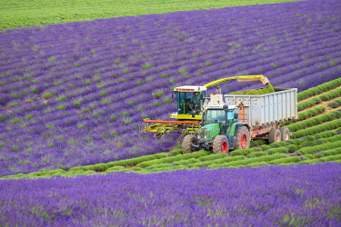 FRA11320AW Workers begin harvesting first rows of lavender in a field in early July on the Plateau de Valensole near Puimoisson, Provence-Alpes-Côte d'Azur, France