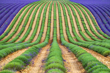 FRA11321AW A lavender field in full bloom after the first rows of lavender have been cut as the harvest begins, Plateau de Valensole, near Puimoisson, Provence-Alpes-Côte d'Azur, France
