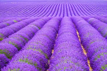 FRA11322AW Rows of purple lavender in height of bloom in early July in a field on the Plateau de Valensole near Puimoisson, Provence-Alpes-Côte d'Azur, France