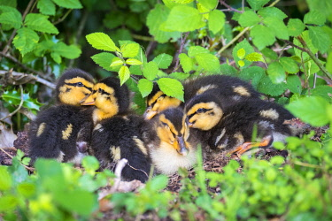 FRA11356AW Young baby ducks, ten day old ducklings in the grass, La Creuse, Limousin, France
