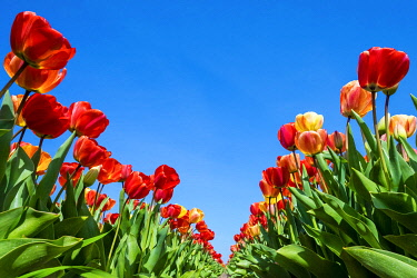 NLD1004AWRF Netherlands, North Holland, Callantsoog. Multicolored tulip flowers against a blue sky, near the village of Zipje.