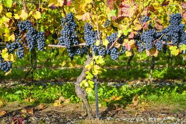 SWI8374AW Pinot Noir grapes on vine before harvest, Yvorne, Vaud Canton, Switzerland.