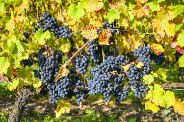 SWI8375AW Pinot Noir grapes on vine before harvest, Yvorne, Vaud Canton, Switzerland.