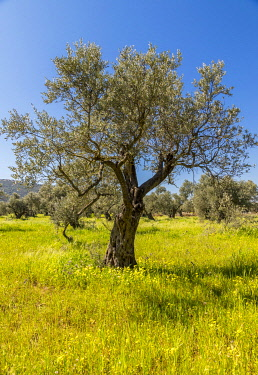 ISR1636AW Yellow wild mustard seed flowers carpet the ground in an orchard of Olive trees in the Galilee, Israel.