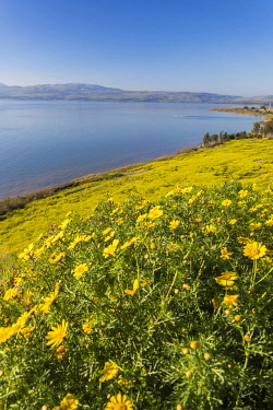ISR1661AW Yellow wild mustard seed flowers bloom on the shore of the Sea of Galilee, Isreal.