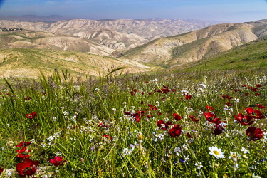 ISR1671AW Judean Desert Spring, Wadi Kelt, Israel.