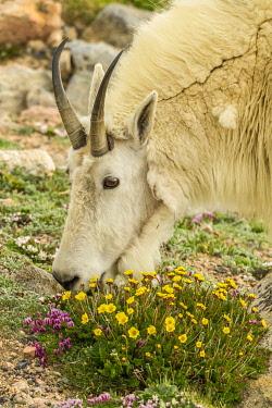 US06BJY1277 USA, Colorado, Mt. Evans. Mountain goat eating dwarf clover