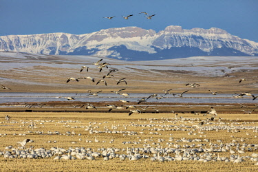 US27CHA4091 Snow geese feeding in barley field stubble near Freezeout Lake Wildlife Management Area near Choteau, Montana, USA