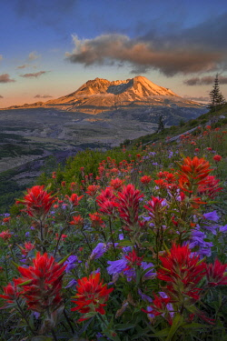 US48GLU1079 USA, Washington State. Paintbrush and Penstemon wildflowers at Mount St. Helens Volcanic National Monument in Washington State (focus stack composite).