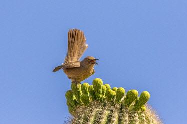 US03BJY0586 USA, Arizona, Desert Botanic Garden. Curve-billed thrasher on cholla cactus buds