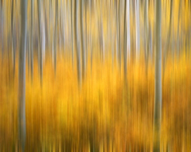 US06BJY1189 USA, Colorado, San Juan Mountains. Aspen tree abstract
