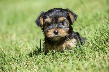 US48JHO0760 Issaquah, Washington State, USA. Cute tiny Yorkshire Terrier puppy experiencing his first trip outside on a lawn. (PR)