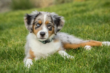 US48JHO1002 Sammamish, Washington State, USA. Three month old Blue Merle Australian Shepherd puppy taking a short rest in her yard after a play session (PR)