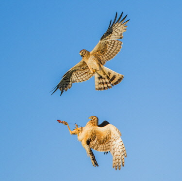 US51EBO0773 USA, Wyoming, Sublette County. Pair of Northern Harriers passing off a rodent in mid air to feed their young.