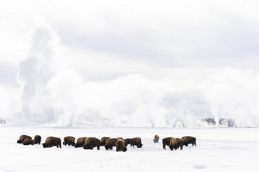 US51EGO0029 USA, Wyoming, Yellowstone National Park. American bison (Bos bison) struggling to find grass beneath the winter snow pack.
