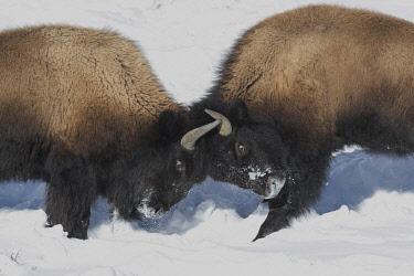 US51EGO0056 USA, Wyoming, Yellowstone National Park. Two young bison headbutting each other testing their strength.