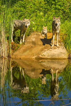 US24BJY0122 USA, Minnesota, Pine County. Captive gray wolf family and water reflections