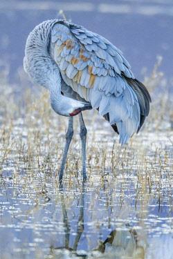 US32BJY0272 USA, New Mexico, Bosque Del Apache National Wildlife Refuge. Sandhill crane grooming