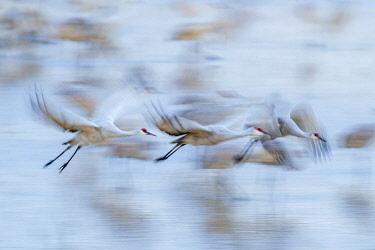 US32BJY0279 USA, New Mexico, Bosque Del Apache National Wildlife Refuge. Sandhill crane flight blur