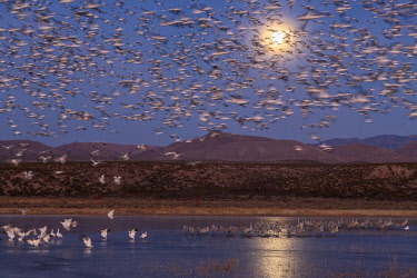 US32BJY0304 USA, New Mexico, Bosque del Apache National Wildlife Refuge. Full moon and bird flocks