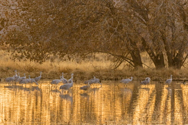 US32BJY0327 USA, New Mexico, Bosque del Apache National Wildlife Refuge. Sandhill cranes in water at sunset