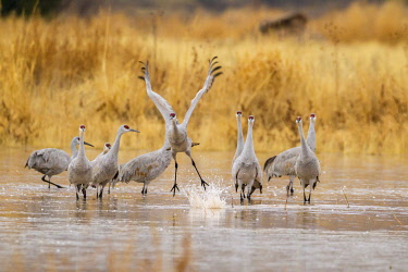 US32BJY0342 USA, New Mexico, Bosque del Apache National Wildlife Refuge. Sandhill crane takes flight from water