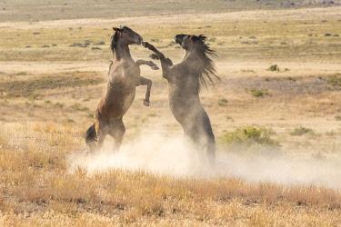 US45BJY0638 USA, Utah, Tooele County. Wild stallions fighting