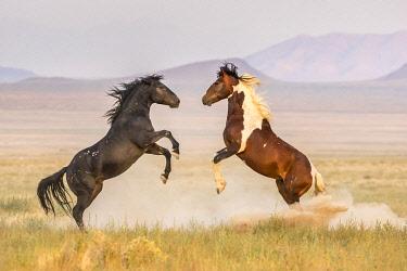 US45BJY0652 USA, Utah, Tooele County. Wild stallions fighting