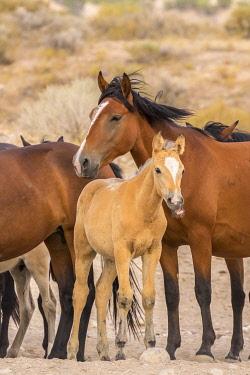 US45BJY0689 USA, Utah, Tooele County. Wild horses close-up