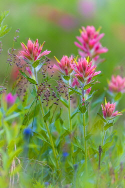 CN02BJY0562 Canada, British Columbia, East Kootenay Mountains. Indian paintbrush scenic