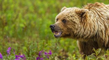 CN12MQU0025 Canada, Yukon Territory, Destruction Bay. Grizzly bear (Arctos Horribilis) grazing on plants alongside the Alaska Highway