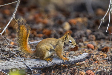 CN12MQU0043 Canada, Yukon Territory, Tagish. Yukon red squirrel (Tamiasciurus hudsonicus)