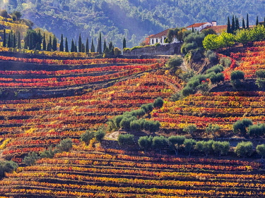 EU23JEG0380 Portugal, Douro Valley. Vineyards in autumn, terraced on hillsides above the Douro River.