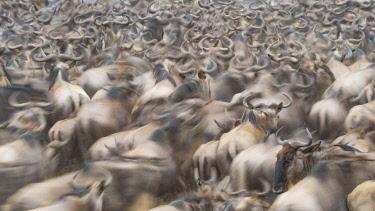 AF21BJY0019 Africa, Kenya. Dusty wildebeest herd