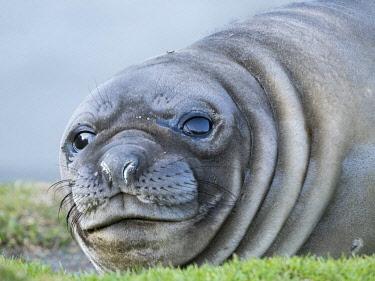 AN02MZW0052 Southern elephant seal (Mirounga leonina) weaned pup on beach.