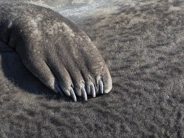 AN02MZW0059 Southern elephant seal (Mirounga leonina) flipper of a pup on beach.