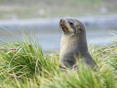 AN02MZW0095 Antarctic Fur Seal (Arctocephalus gazella) in typical Tussock Grass. South Georgia Island