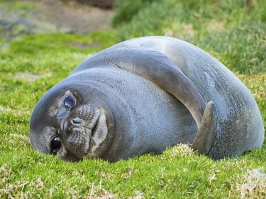 AN02MZW0150 Southern elephant seal (Mirounga leonina), weaned pup on beach. South Georgia Island