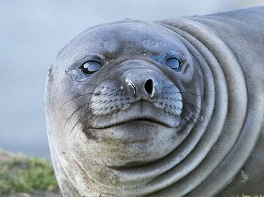AN02MZW0153 Southern elephant seal (Mirounga leonina), weaned pup on beach. South Georgia Island