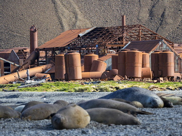 AN02MZW0175 Ruins of Stromness Whaling Station in South Georgia Island with harem of Southern elephant seal (Mirounga leonina) in the foreground. South Georgia Island