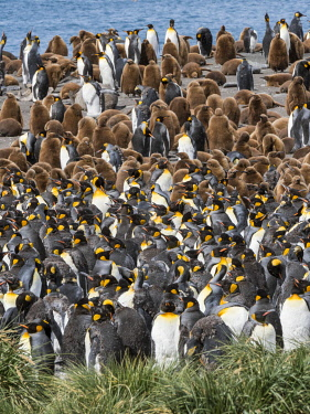 AN02MZW0184 King Penguin (Aptenodytes patagonicus) rookery in Gold Harbour. South Georgia Island