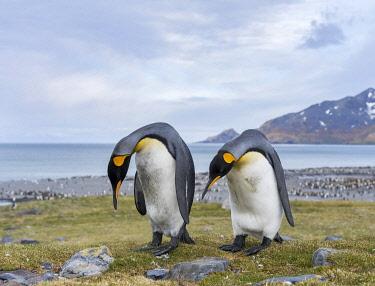 AN02MZW0224 King Penguin (Aptenodytes patagonicus) rookery in St. Andrews Bay. Courtship behavior. South Georgia Island