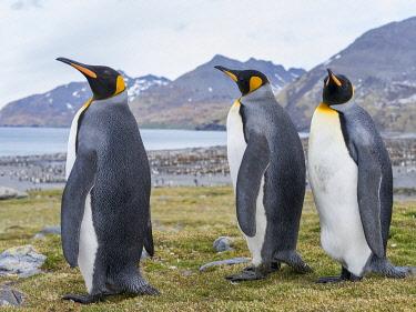 AN02MZW0230 King Penguin (Aptenodytes patagonicus) rookery in St. Andrews Bay. Courtship behavior. South Georgia Island