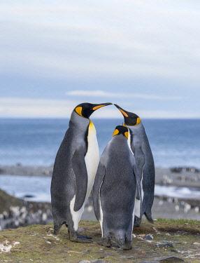 AN02MZW0236 King Penguin (Aptenodytes patagonicus) rookery in St. Andrews Bay. Courtship behavior. South Georgia Island