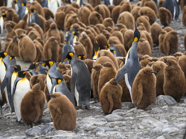 AN02MZW0246 King Penguin (Aptenodytes patagonicus) rookery in St. Andrews Bay. South Georgia Island