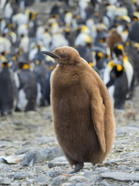 AN02MZW0484 King Penguin (Aptenodytes patagonicus) on the island of South Georgia, rookery in St. Andrews Bay. Chick in typical brown plumage